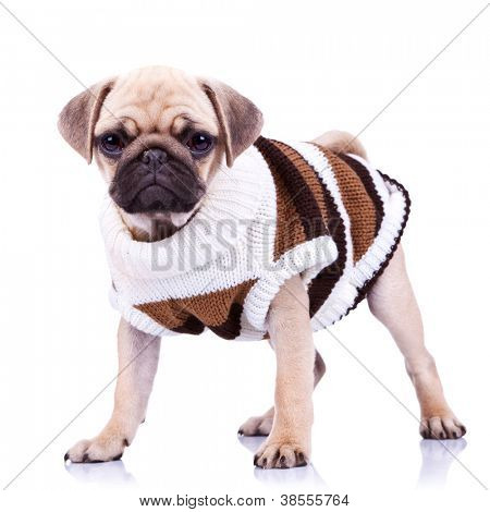 standing pug puppy dog looking to the camera on white background. full body picture of a curious standing mops dog wearing clothes
