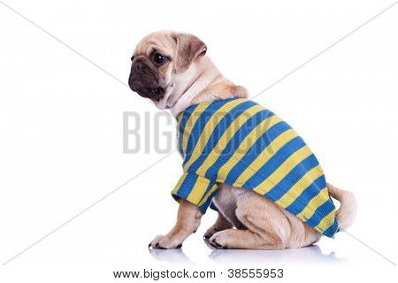 side view of a cute pug puppy dog wearing a cardigan. mops puppy dog wearing cute clothes sitting and looking away from camera