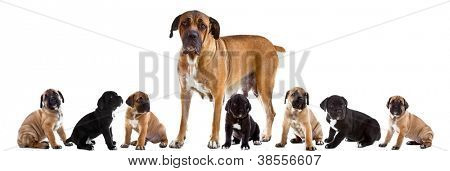 Mother and 7 puppies of Cane Corso Italiano  together , isolated on white.