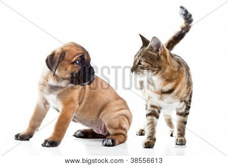 Cane Corso Italiano puppy and kitten breeds Bengal cat, Cat and dog