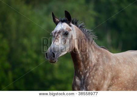Portrait of red-gray arabian mare in motion