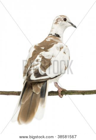 Rear view of an African Collared Dove perched on branch, Streptopelia roseogrisea, against white background