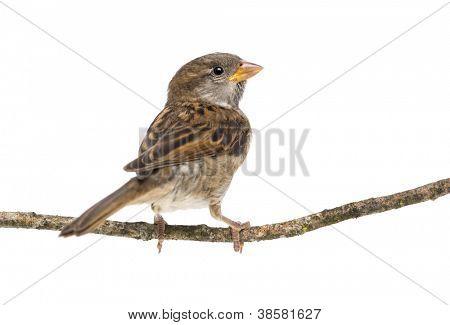 Gorrión que está parado en la rama contra fondo blanco