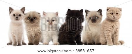 Group of British shorthair and British longhair kittens sitting against white background
