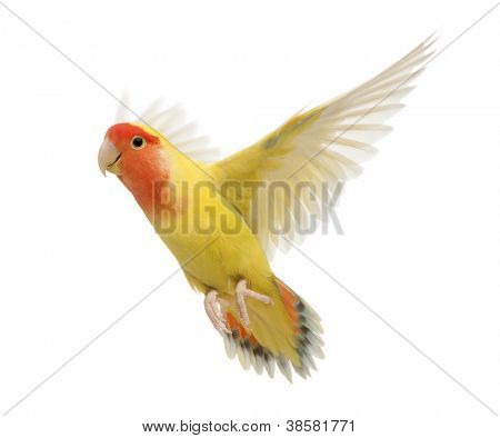 Portrait of Rosy-faced Lovebird flying, Agapornis roseicollis, also known as the Peach-faced Lovebird in front of white background