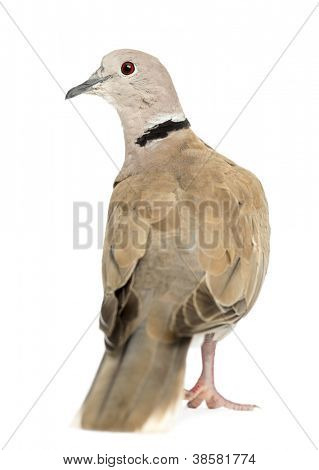 Rear view of Eurasian Collared Dove, Streptopelia decaocto, often called the Collared Dove against white background