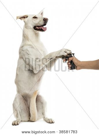 Semi-automatic pistol pointed at Crossbreed dog on hind legs with paws on pistol against white background