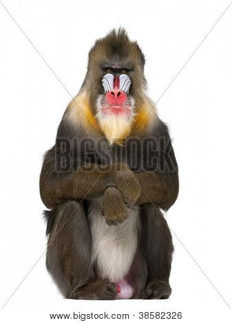 Mandrill sitting, Mandrillus sphinx, 22 years old, primate of the Old World monkey family against white background