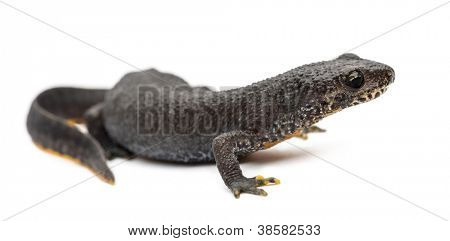 Alpine Newt, Ichthyosaura alpestris, formerly Triturus alpestris and Mesotriton alpestris against white background