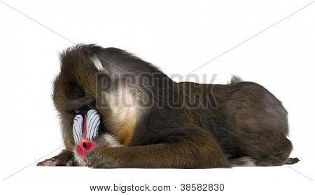 Mandril deitado, Mandrillus sphinx, 22 anos velho, Primaz da família de macacos do velho mundo contra whit