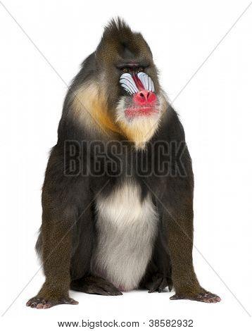Mandril, Mandrillus sphinx, 22 anos velho, primata da família macaco velho mundo contra branco traseiro