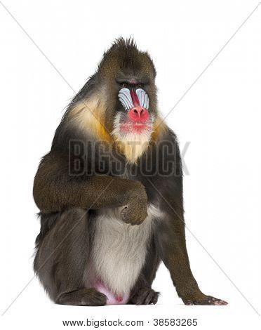 Mandril sentado, Mandrillus sphinx, 22 anos velho, primata da família de macacos do velho mundo contra wh