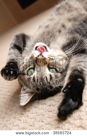 Playing Kitten With Tongue Out