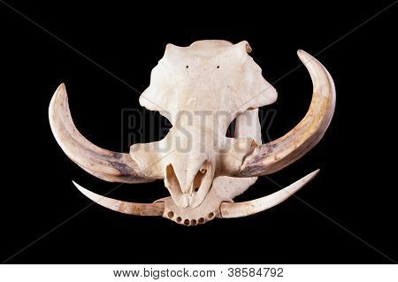 skull of an African Wart hog on a black background