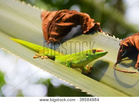 Green gecko on the agava leaf (Zurich zoo)