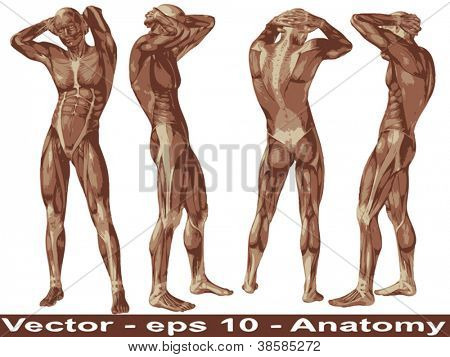 Vector concept or conceptual human or man 3D anatomy body with muscle isolated on white background a metaphor to medicine,sport,male,muscular,medical,health,biology or fitness group,collection or set