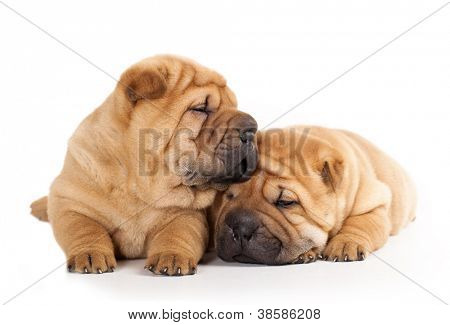 Tvo beautiful sharpei puppies