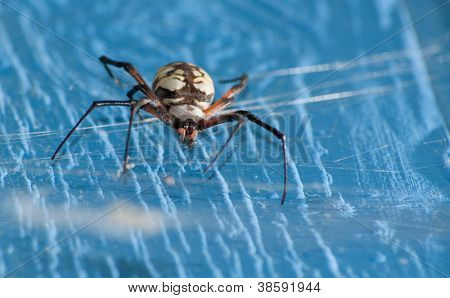 Close up image of an Argiope aurantia spider hanging in her web on a blue barn wall