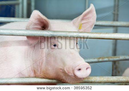 Un lechón joven en la vertiente en la granja de cría de cerdos