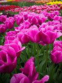 Purple Tulips In Field