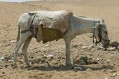 foto of mud pack  - mud mammal ungulate animal husbandry pack hybrid desert busy tired - JPG