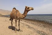 picture of dromedaries  - Camel on the shore of the Red Sea - JPG