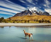Guanaco crossing the river in Torres del Paine National Park, Patagonia, Chile