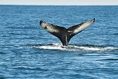 image of whale-tail  - Tail fin of the mighty humpback whale  - JPG