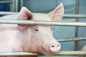 picture of pig-breeding  - One young piglet in shed at pig - JPG