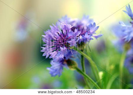 Schöne Kornblumen, im freien