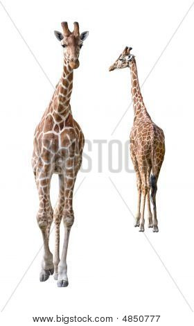 Somali Giraffe Young Couple Cutout