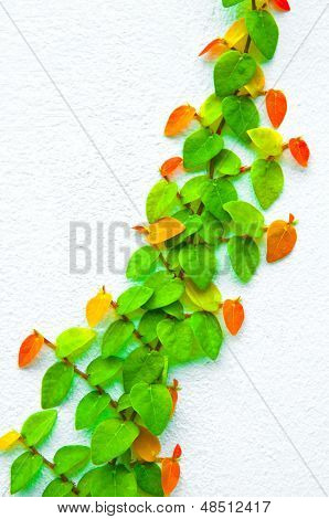 The Green Creeper Plant on wall