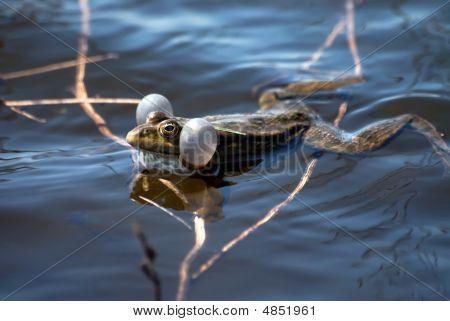 Croacking Frog