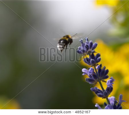 Flying Bumble Bee