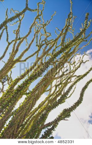 Ocotillo Stems