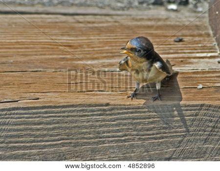 Begging Barn Swallow