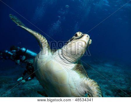 Green Hawksbill Turtle