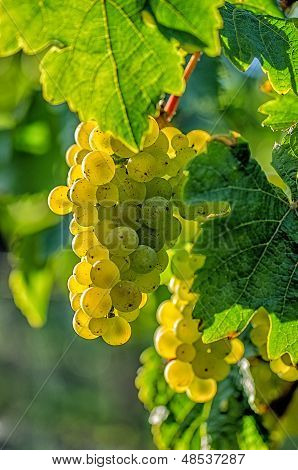 Grapes on the vine in the sunlight
