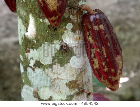 Cocoa Pod on a Tree