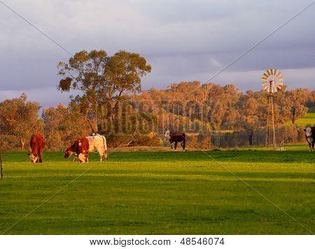 Vacas y un molino de viento