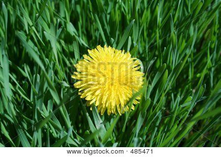 Pesky Dandelion