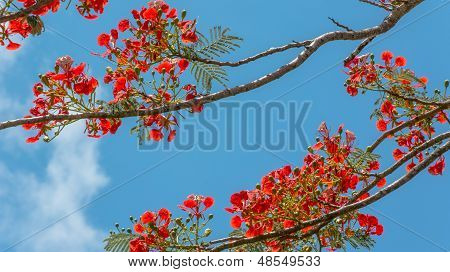 The Flower Pride Of Barbados