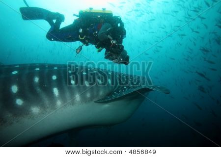 Scuba Diver Approaching Whale Shark In Galapagos Islands Waters And Taking Photos