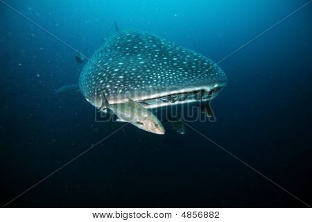 Approaching Head Of Whale Shark