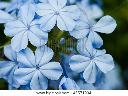 Light Blue Flowers