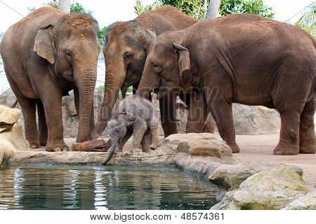 Baby Elephant and Mothers