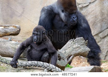 Young Gorilla with Silverback