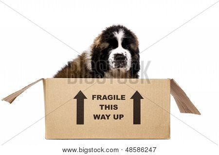 St Bernard Puppy In A Cardboard Box
