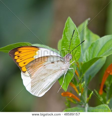 Male Giant Orange-tip butterfly, hebomoia glaucippe, found in Indonesia, Southern Asia and Australasia