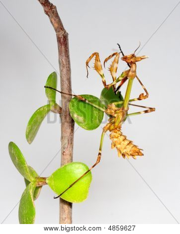 Mantid Larva